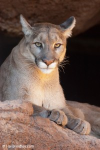 Mountain lions prowl the Rockies