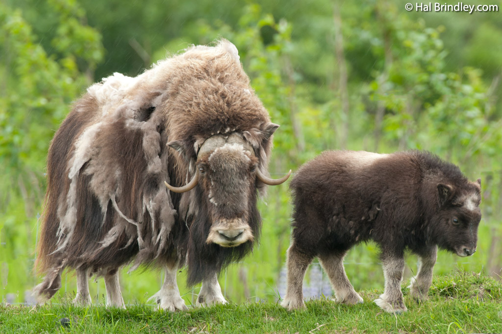 Musk Ox roam the barren lands of northern Nunavut