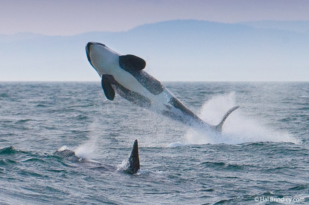 Killer whale breaching off the coast of British Columbia