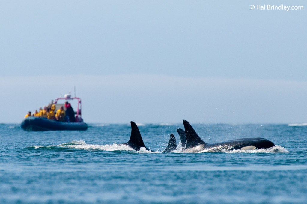 Killer whale watching off British Columbia coast