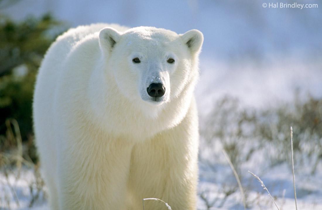 how to photograph a polar bear: an inside tip - travel 4 wildlife