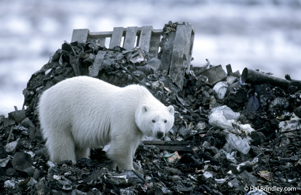 If you're not finding any polar bears, try cruising by the dump.