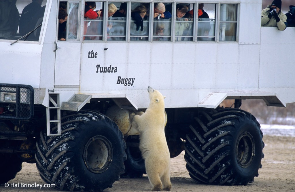 Passengers on a Tundra Buggy Tour are high above the ground and safely out of reach of bears.