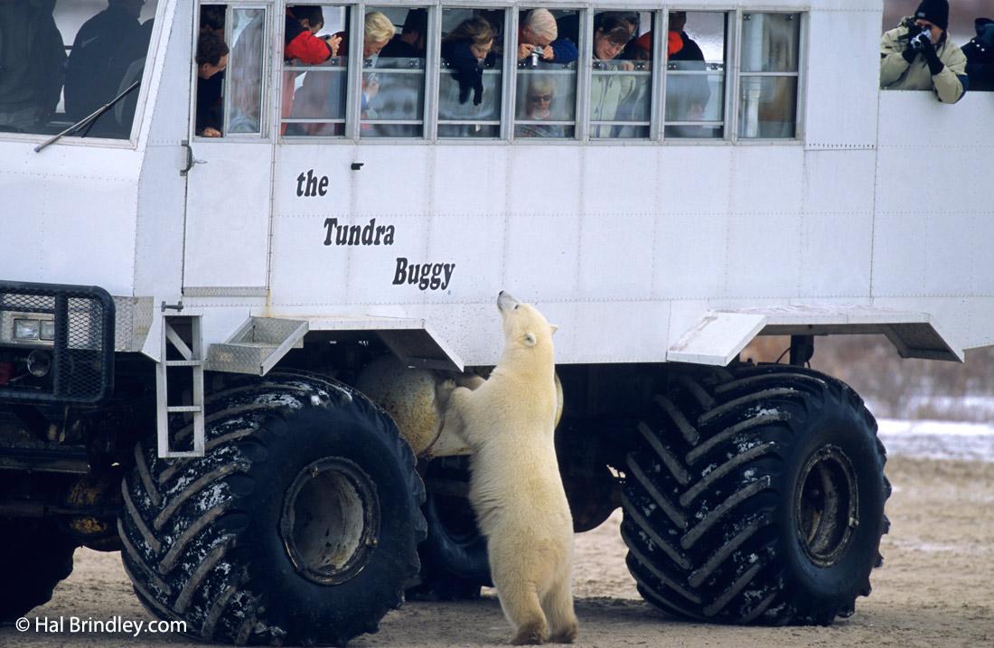 how to photograph a polar bear an inside tip travel 4 wildlife
