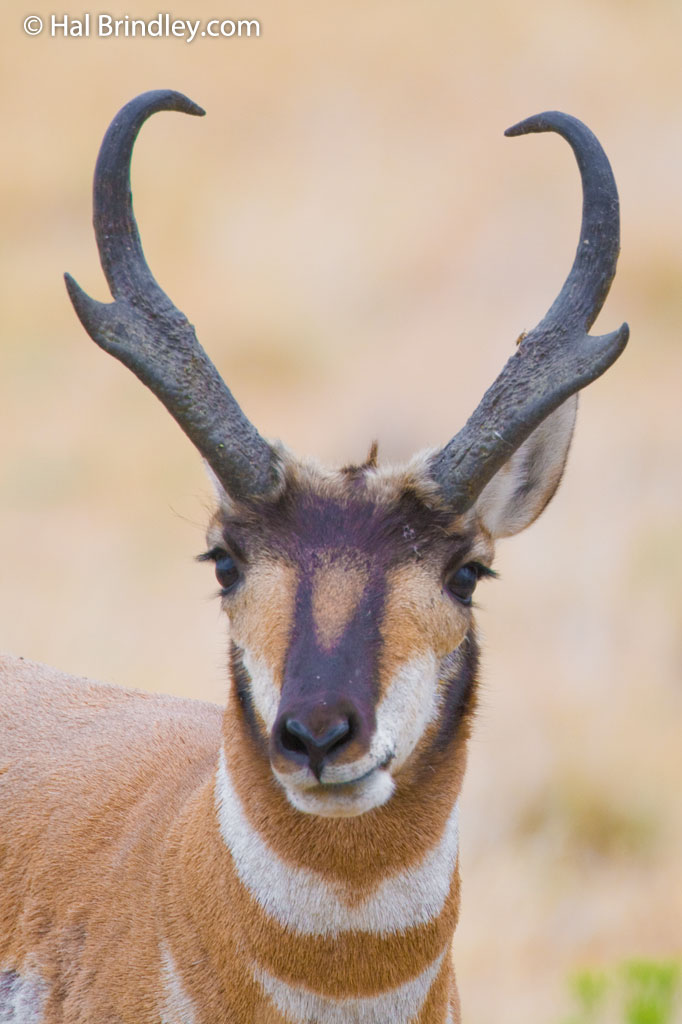 See the unique Pronghorn on Antelope Island, Utah