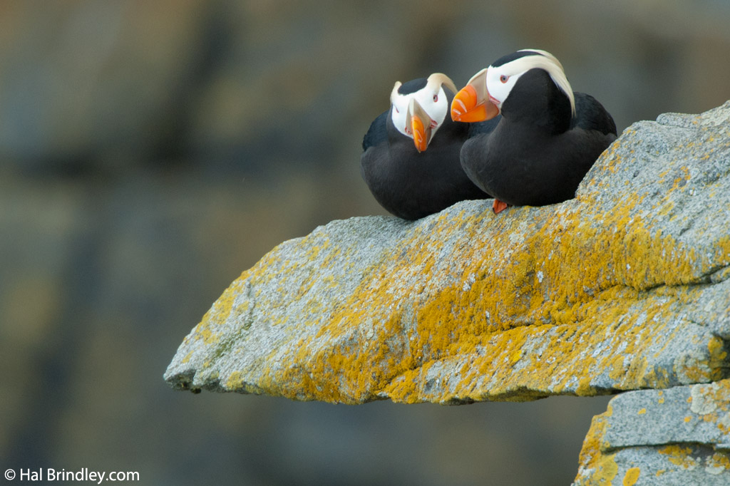 Horned Puffins can be found all along Canada's west coast.
