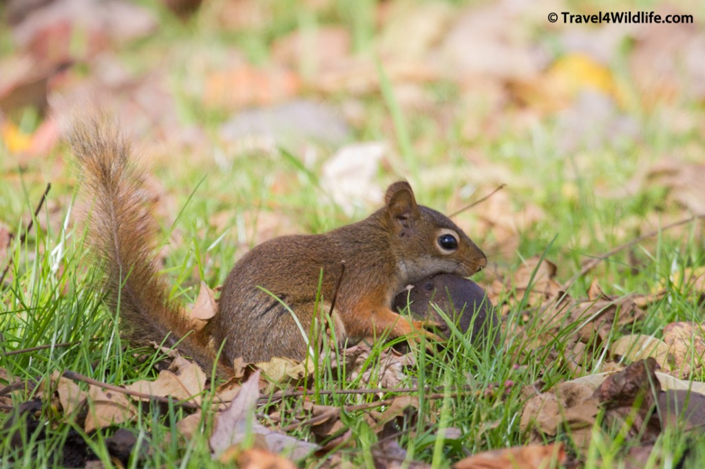 American red squirrel collecting walnuts