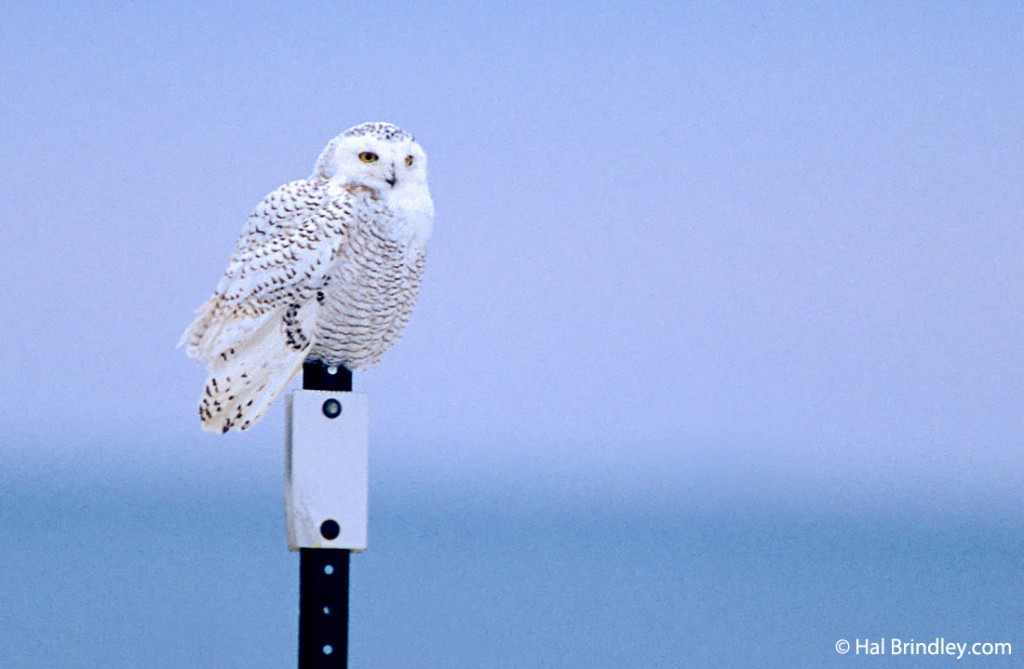 A snowy owl resting on a post