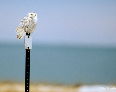 You may see snowy owls perched on signs and telephone poles near the road.