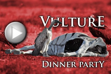 (Click to Play) Vulture Dinner Party (WARNING: Graphic Content!)