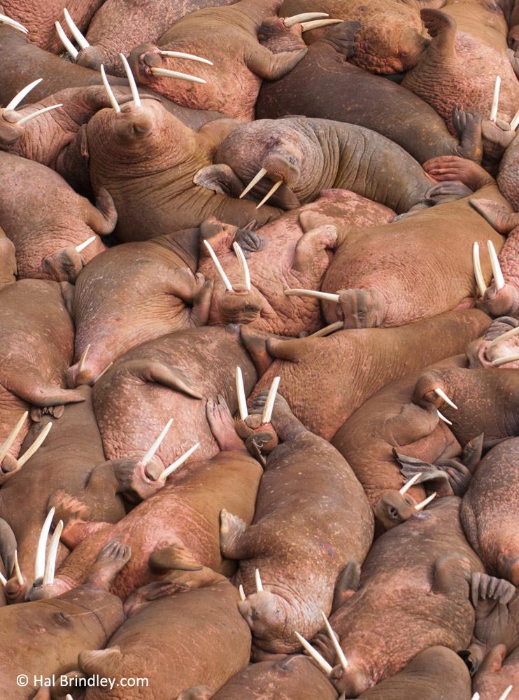 Camp on Alaska's Round Island and watch thousands of sunbathing walruses.