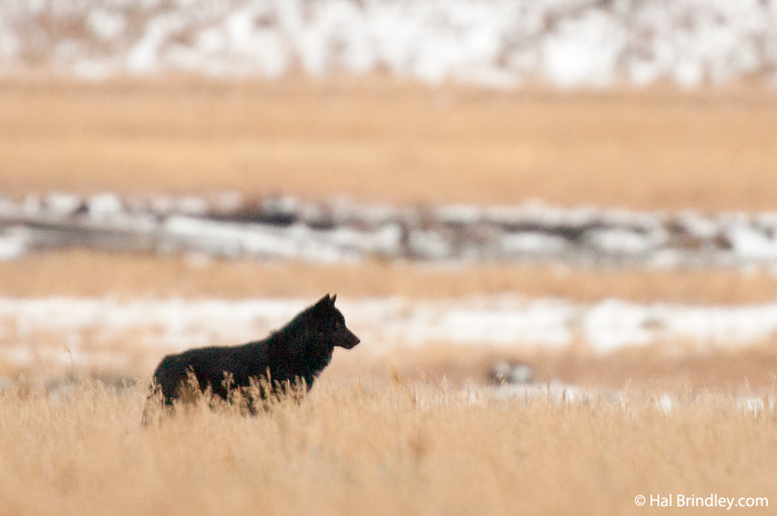 A black wolf stands out against the white snow in Yellowstone National Park