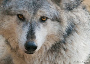 Do you dream of seeing Gray Wolves running free?