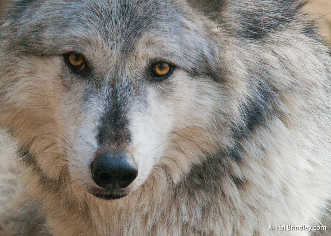You've come to see the wolves in Yellowstone, but where to stay?