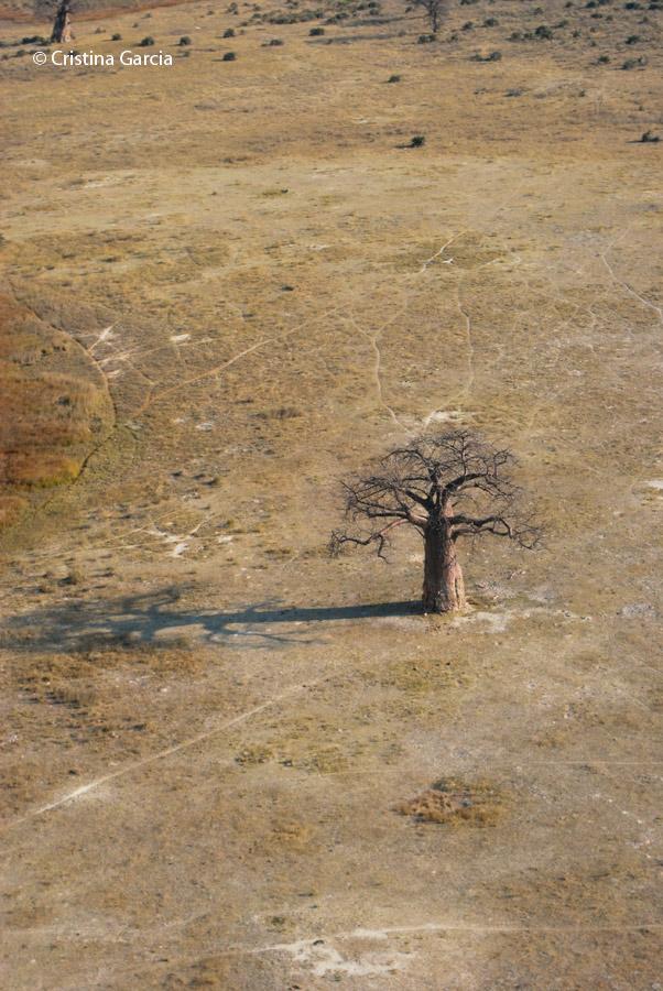 One of Botswana's famous baobabs