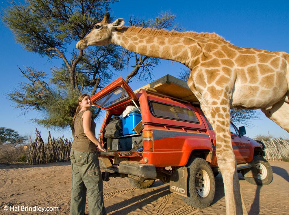 A friendly giraffe watches Cristina set up camp in Botswana's Kalahari Desert