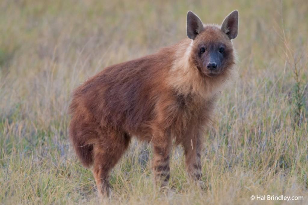 A Brown Hyena in the Makgadikgadi Pans of Botswana