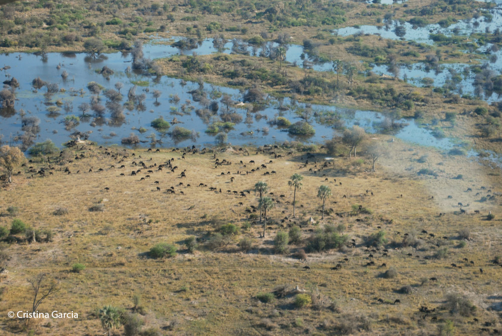 Herd of buffalo grazing in the Okavango delta