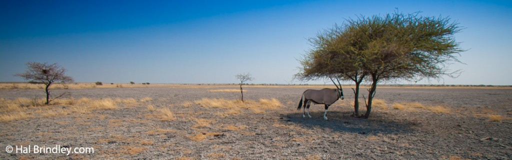 A gemsbok sheltering from the sun at Deception Pan