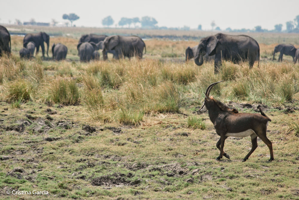 Sable antelope walking by an elephant herd at Chobe National Park, Botswana