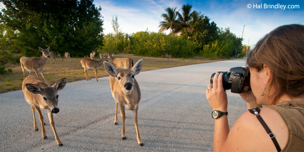 Key deer are very tame