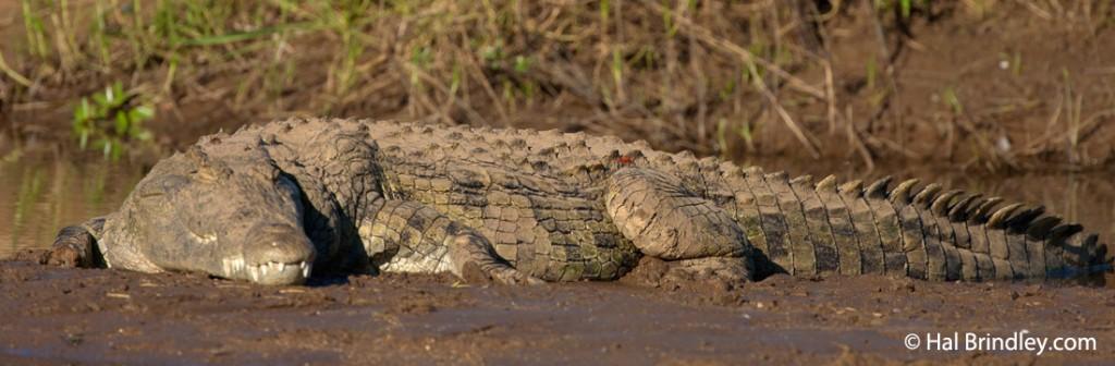The Nile crocodile is a common sight along the Okavango Delta