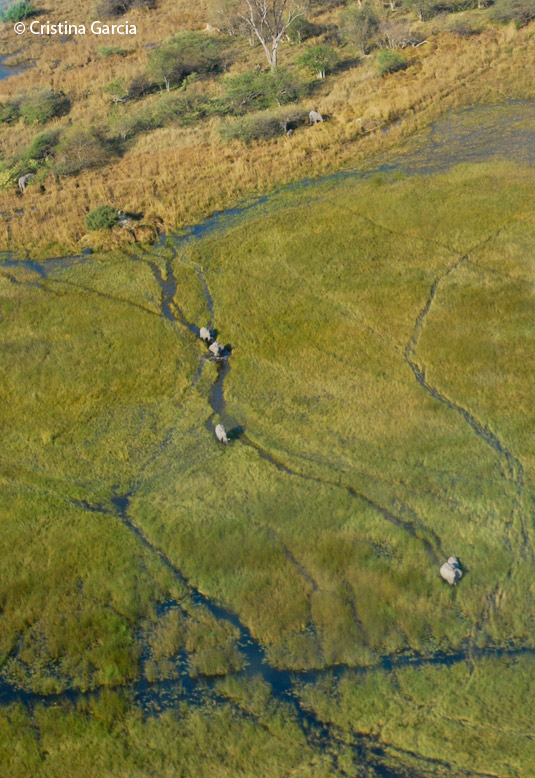 Elephants making a new elephant highway in the Okavango reeds