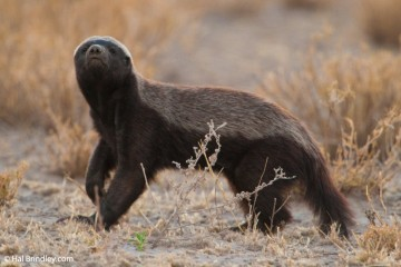 Honey badger sniffing the air