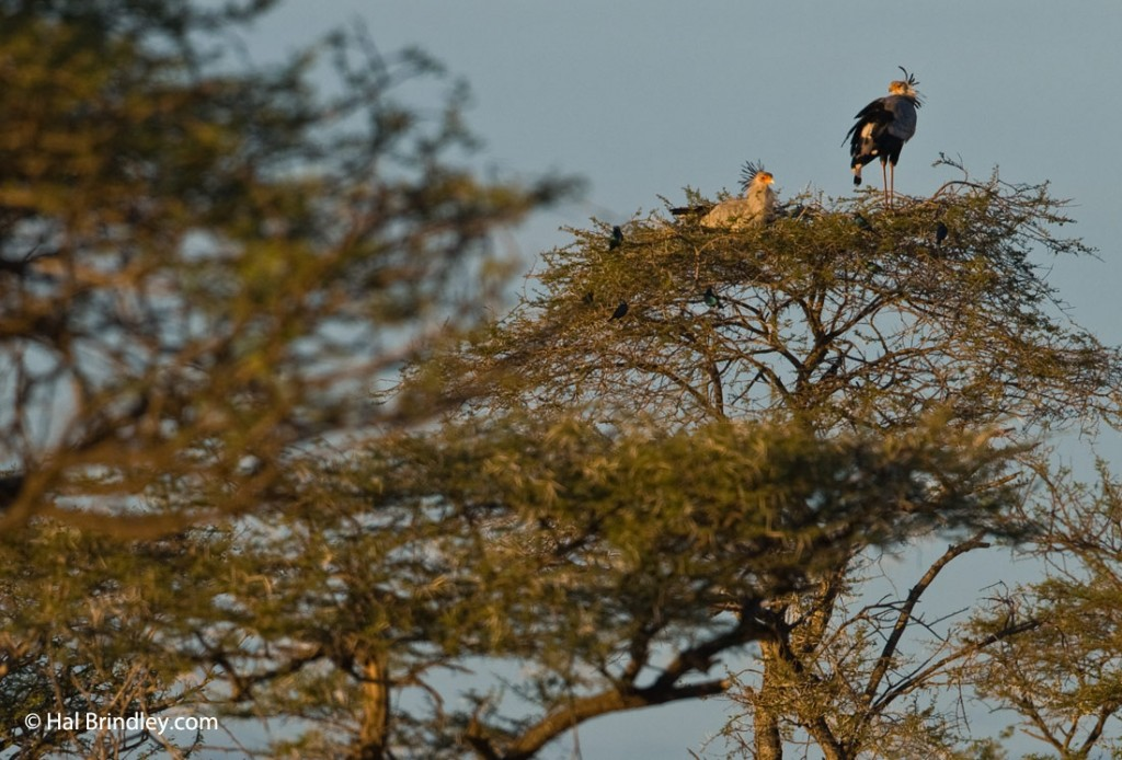 A pair of secretary birds roosting on a tree in Kwazulu Natal, South Africa