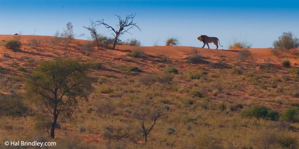 Black-maned lion walking on a Kgalagadi dune