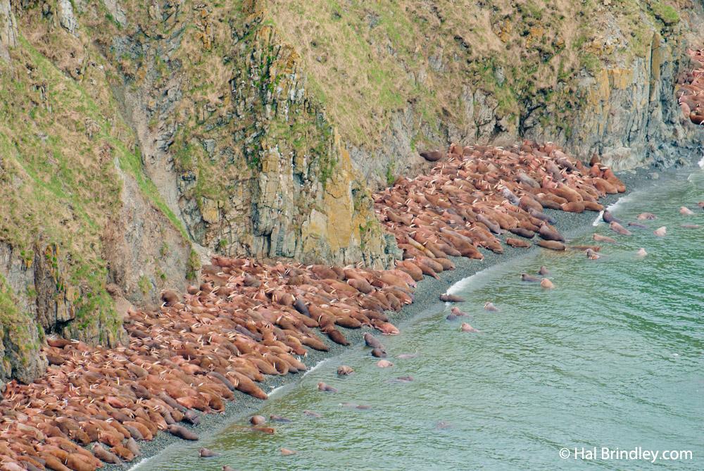 Walruses on Round Island, Alaska