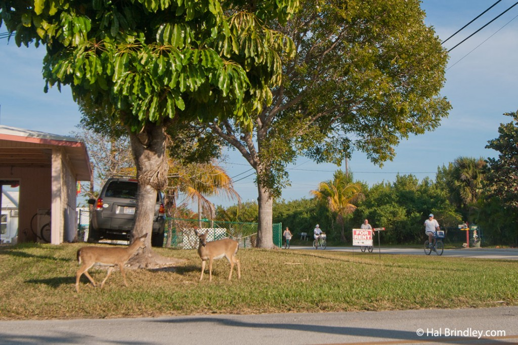Key deer walking around a neighborhood