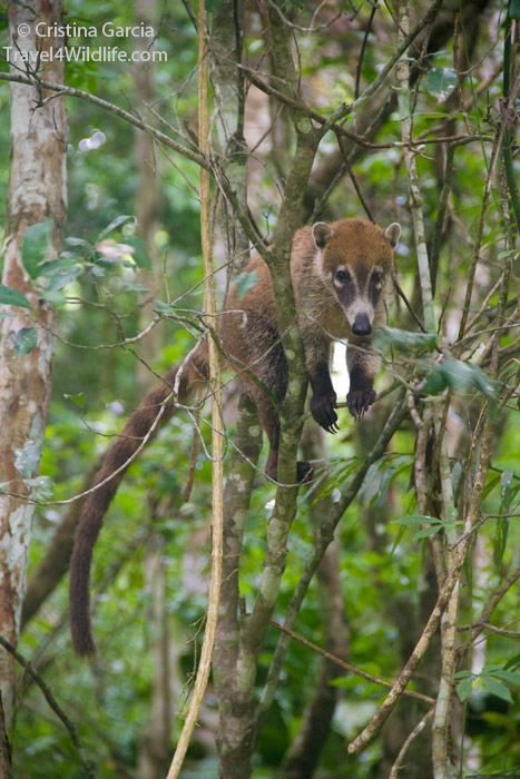 A coati in the Calakmul Biosphere Reserve