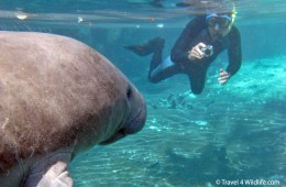 Hal snorkeling with manatees