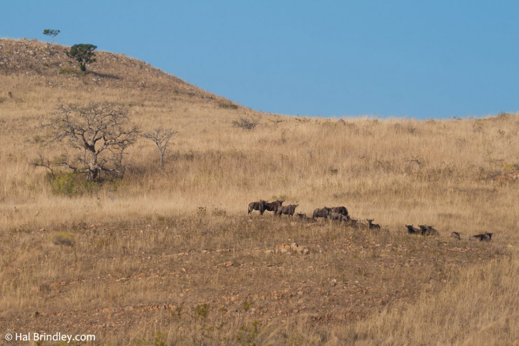 The high plains of Ithala attracts a wide range of grazers, like wildebeest