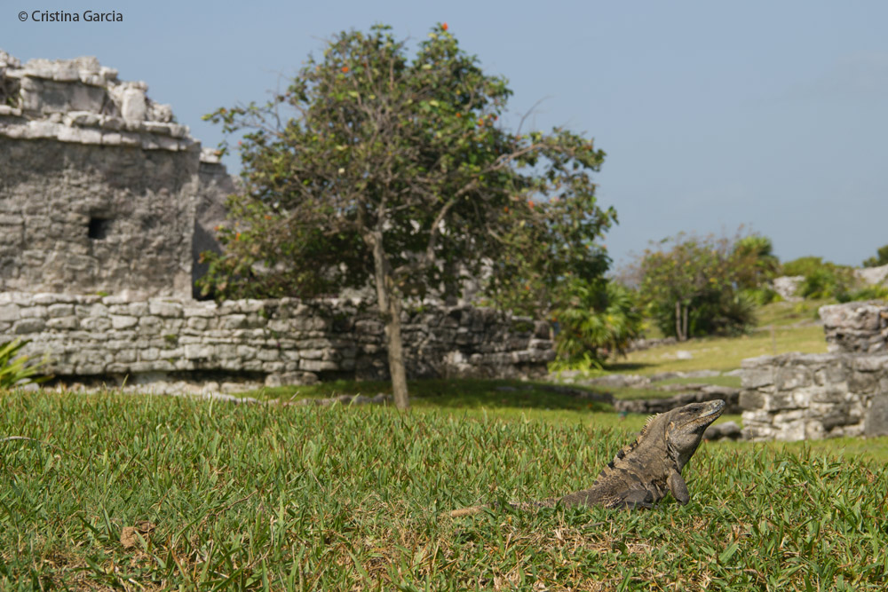 Ctenosaurs graze on the Tulum Maya ruin grounds