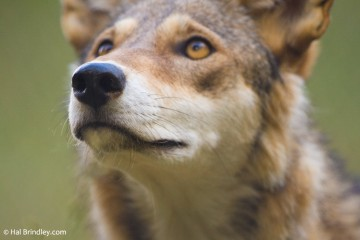 The WNC Nature Center is the home of seven endangered red wolves