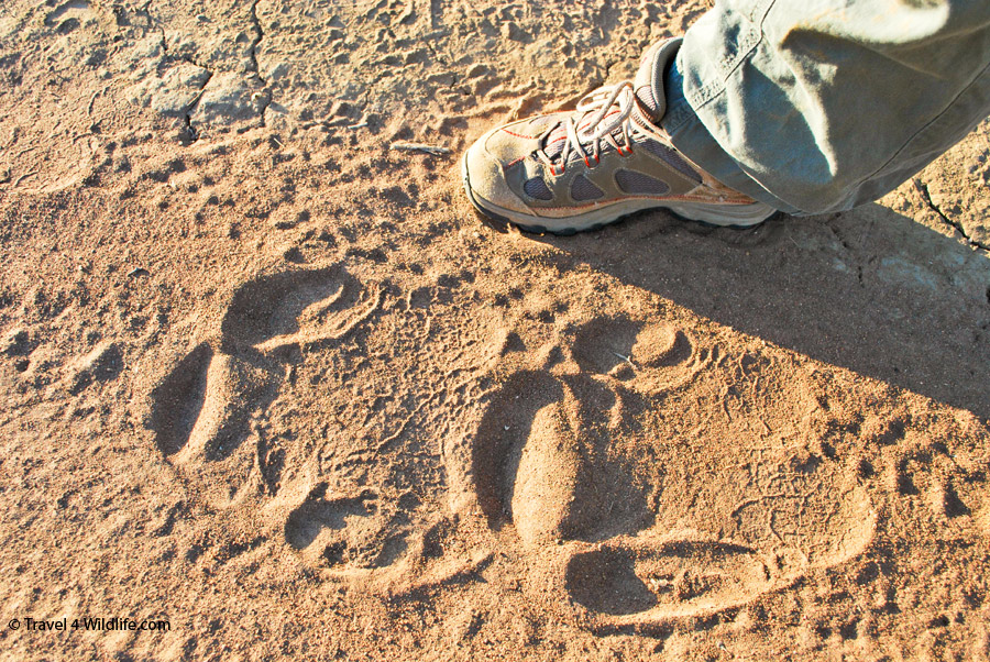 Go rhino tracking at Mokolodi
