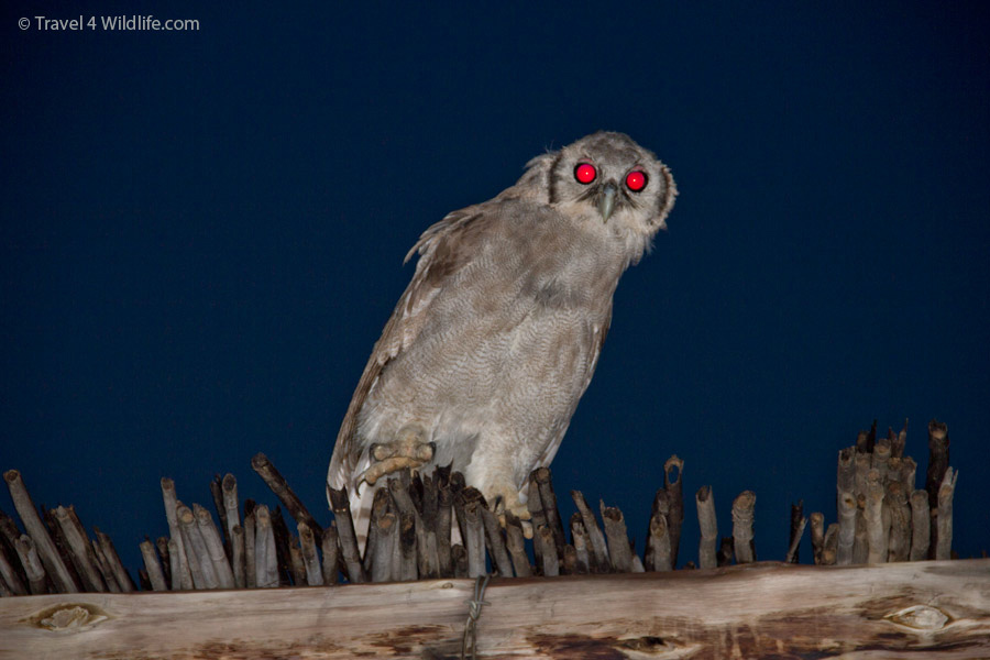 Verreaux's Eagle owl sitting on top of our chalet