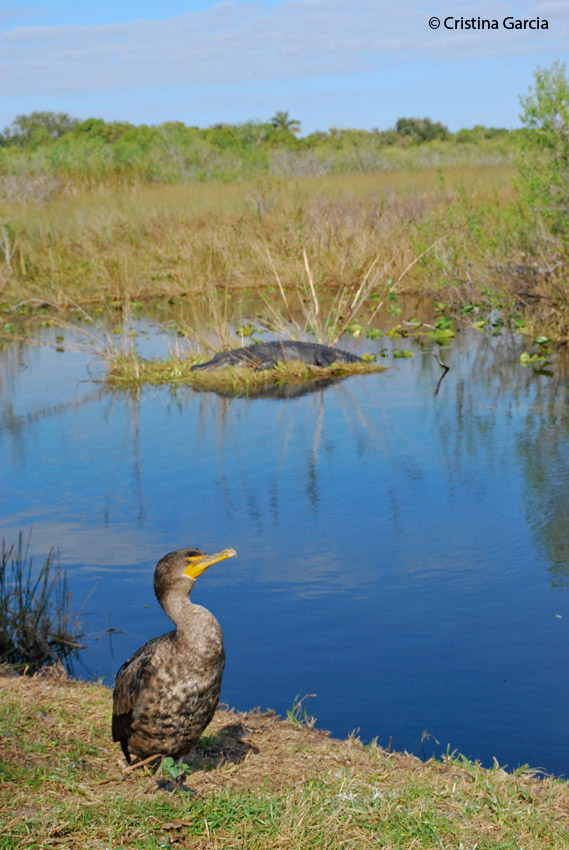 Cormorants and alligators are found all along the trail