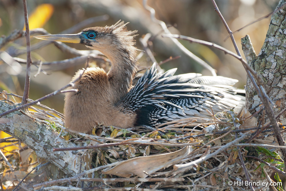 Watch anhingas nesting right next to the boardwalk