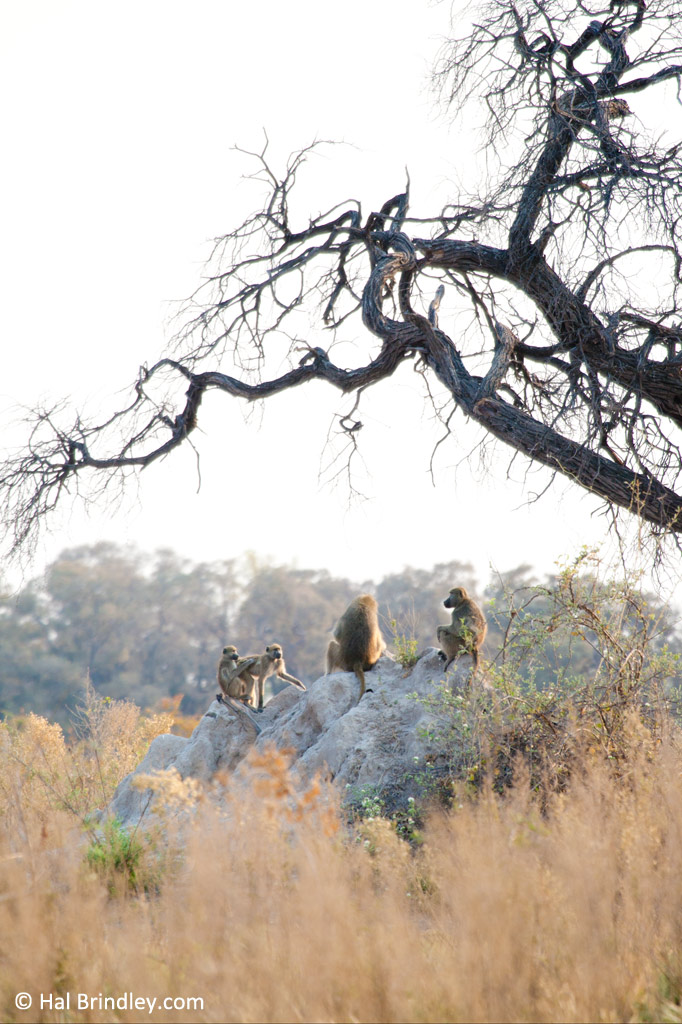 Baboons meet on a termite mound at sunset.