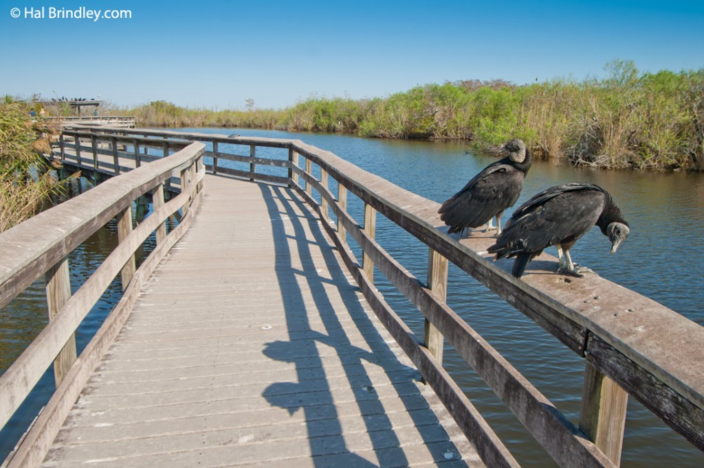 Black vultures perched along the boardwalk section of the Anhinga Trail.