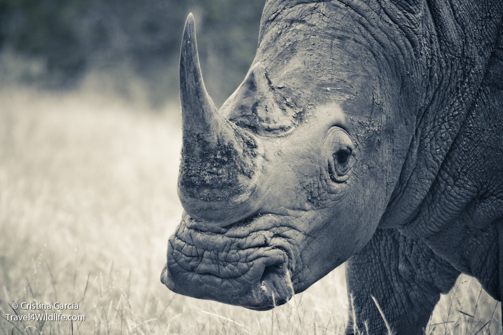 White rhino in Kruger, South Africa