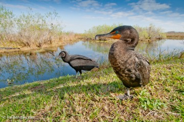 It is possible to get very close to your subjects like this cormorant and black vulture.