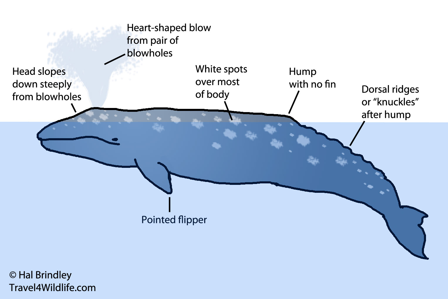 characteristics of the hump back whale Home animal info animal infobooks killer whale physical characteristics killer whales infobook  with a gray patch called a saddle or a cape on the back,.