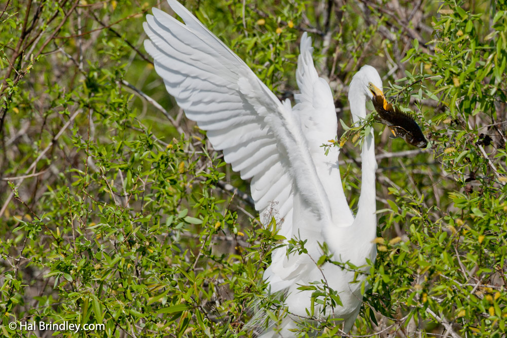 Great egret swallowing a fish at the Anhinga Trail, Florida