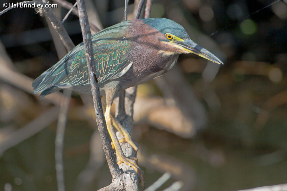 A green heron hunting fish