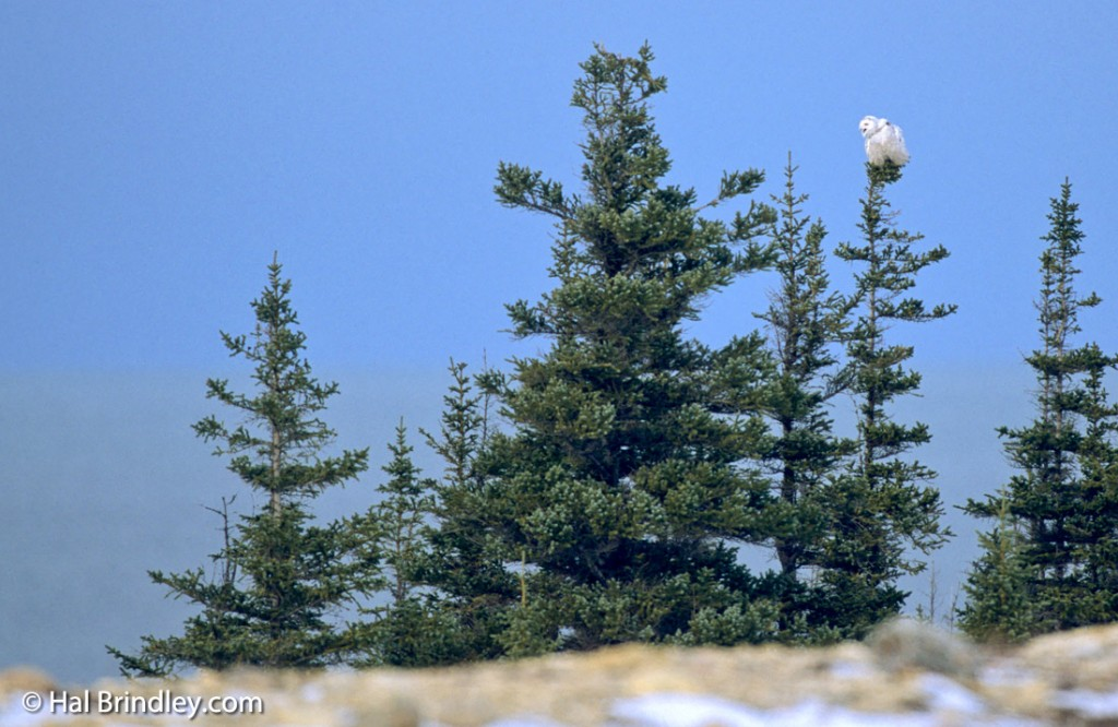 Snowy owls are active during the day