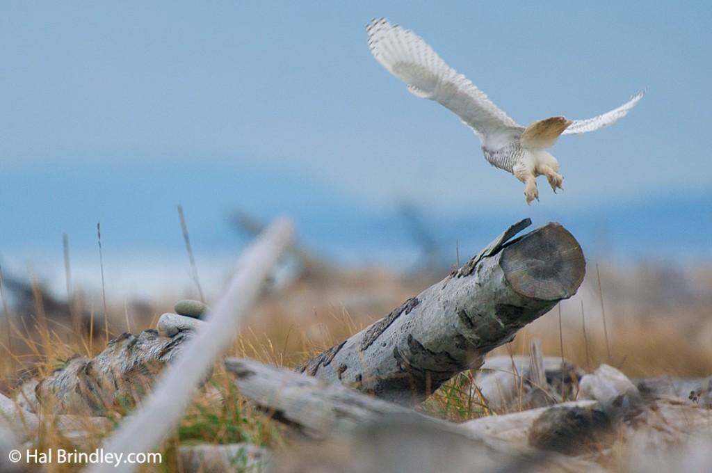 Snowy owl's furry feet
